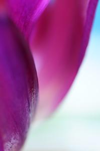 tulip121